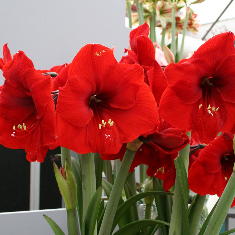 Amaryllis Value Pack