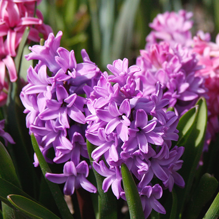 Amethyst Hyacinth Pre-Chilled pre-chilled bulbs, pre chilled hyacinth bulbs, where can i buy pre chilled bulbs, pre chilled hyacinths for forcing