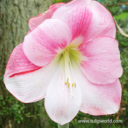 Apple Blossom Amaryllis -Large Flowering