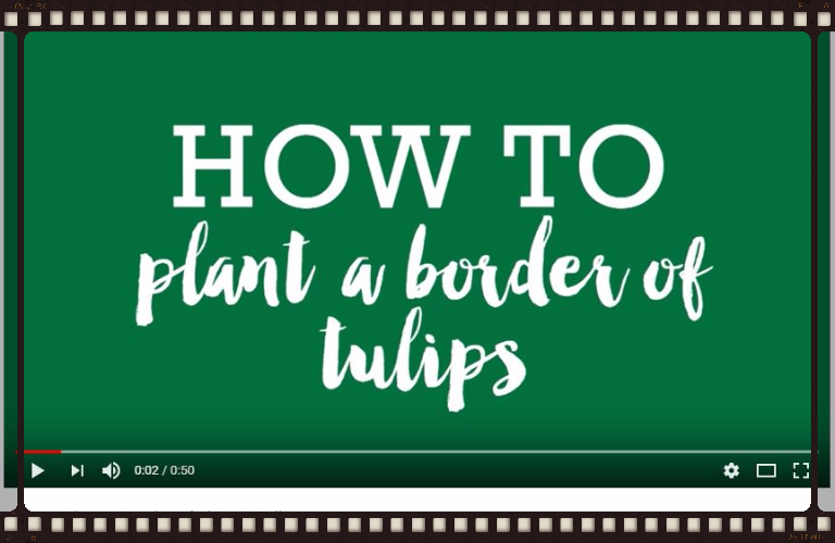 How to plant a border of tulips Video