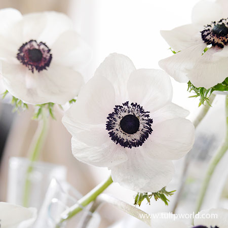 Black Eyed Beauty Anemone anemone bulbs, anemone de caen black eyed beauty bulbs, black and white anemone bulbs, anemone black and white bulbs for sale