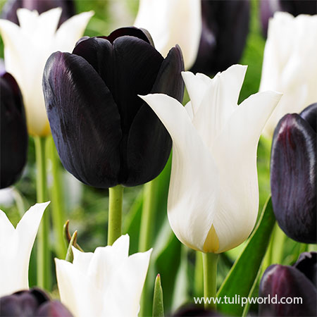 Black & White Tulip Blend black and white tulips, black tulips, queen of night tulips, white tulips, white and black tulip blend, late blooming tulips, single late tulips