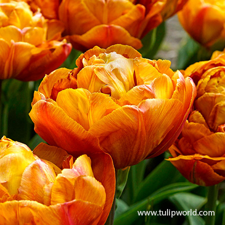 Brownie Double Late Tulips