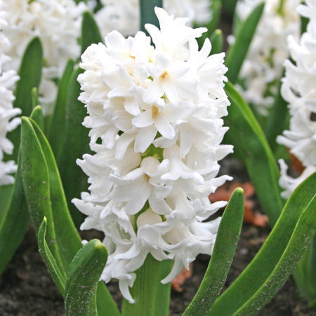 Carnegie Hyacinth Pre-Chilled pre-chilled bulbs, pre chilled hyacinth bulbs, where can i buy pre chilled bulbs, pre chilled hyacinths for forcing