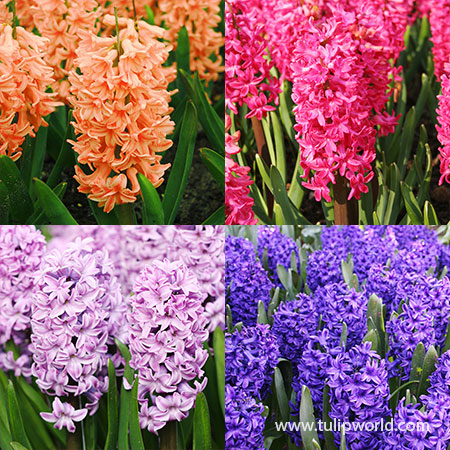 Colorful and Fragrant Hyacinth Collection