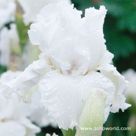 Cool Bearded Iris Collection - 35153