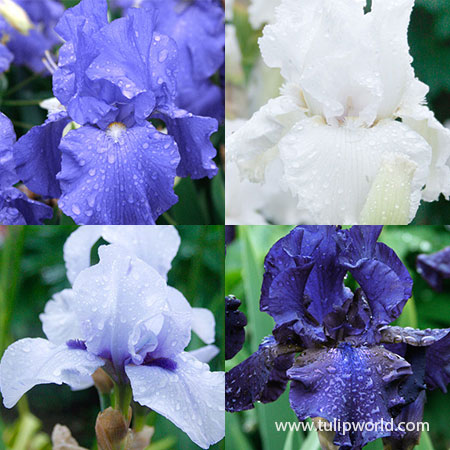 Cool Bearded Iris Collection