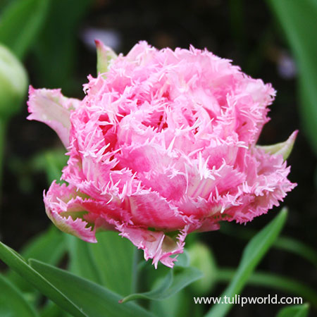 Cool Crystal Fringed Tulip