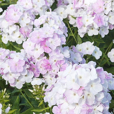 Cool Water Phlox