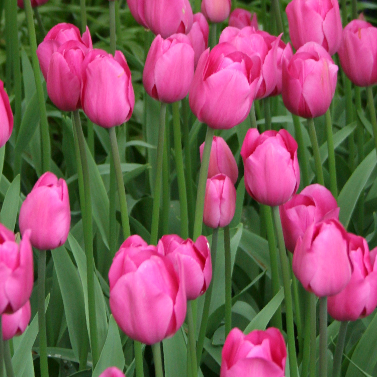 Don Quichotte Tulip Super Pack 100 bulbs