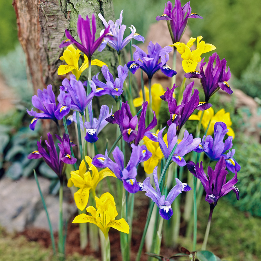 Dwarf Dutch Iris Mix Pre-Chilled pre-chilled bulbs, forced bulbs, Dutch iris for pots, flower bulbs for southern gardens,