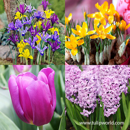 Forced Bulbs Beginner Garden  pre-chilled bulbs, bulbs for growing indoors, tulips for growing indoors, crystal beauty tulips, best bulbs for forcing, best tulips for forcing