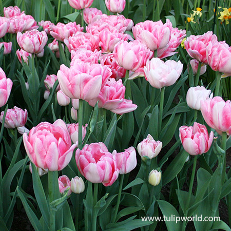 Foxtrot Double Early Tulip - 39161