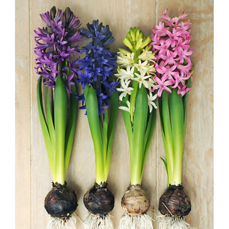 Fragrant Hyacinth Mix - 34119