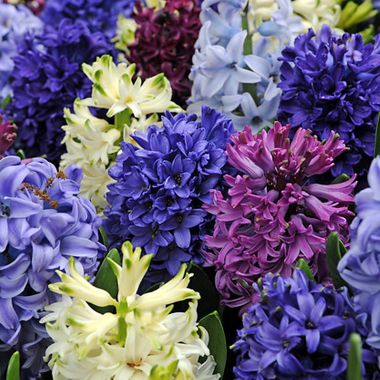 Fragrant Hyacinth Mix