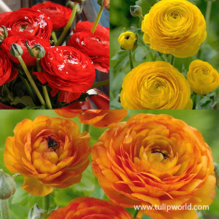 Glowing Ranunculus Collection