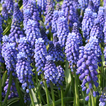 Grape Hyacinth (Muscari) Chilled 25/pk