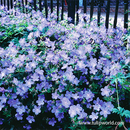 Hardy Blue Geranium Cranesbill cranesbill geranium, cranesbill geranium for sale, blue cranesbill, purple cranesbill, hardy perennials, perennials with long bloom times