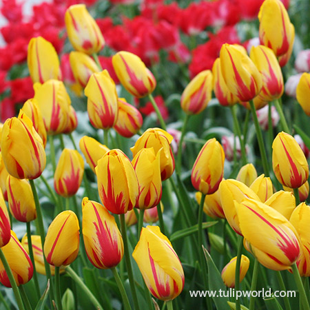 La Courtine Single Late Tulip - 39155