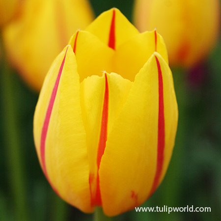La Courtine Single Late Tulip