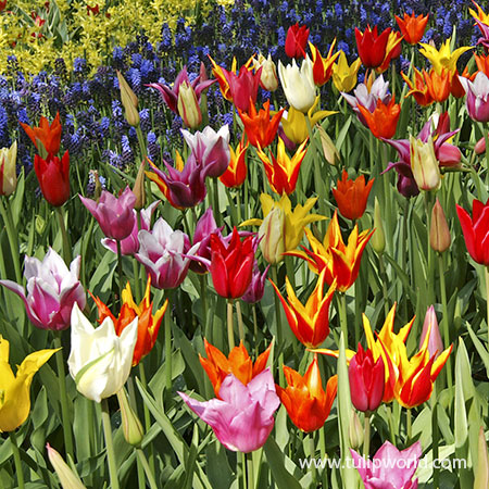 Lily Flowering Tulip Mix - 38344