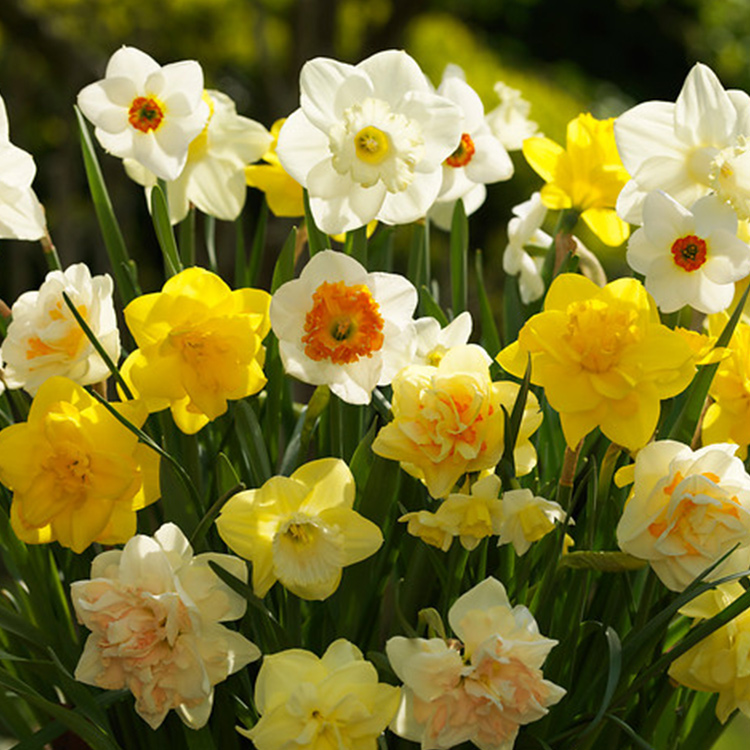 Mixed Daffodils and Narcissi 100 bulbs