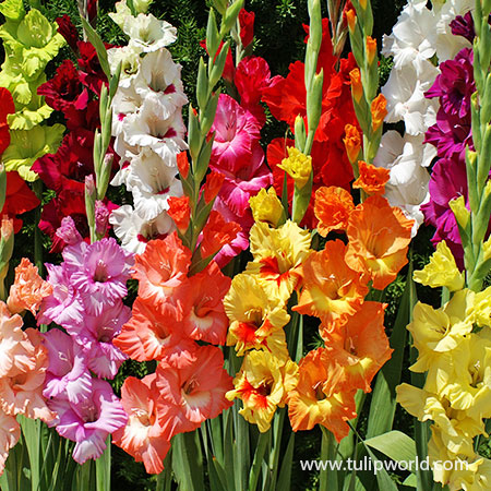 Mixed Gladiolus Value Pack