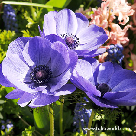 Mr Fokker Anemone - 28154