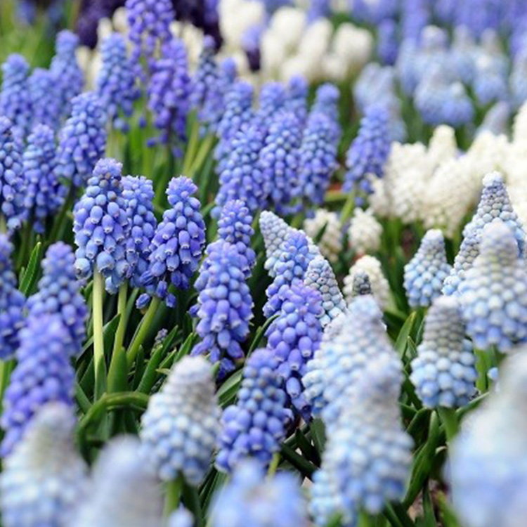 Muscari Grape Hyacinth Mixture - 33152