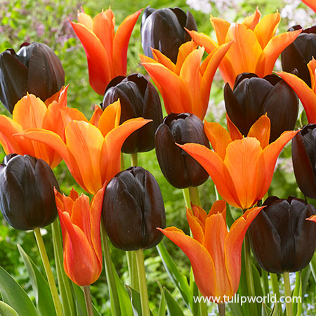 Orange & Black Tulip Blend