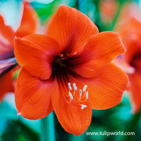 Orange Souvereign Amaryllis