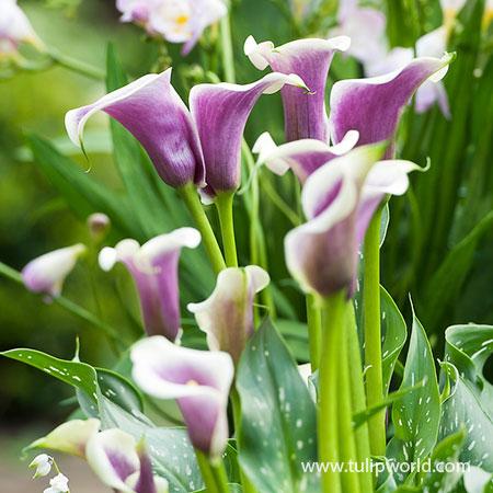 Picasso Calla Lily Tulip World 23151