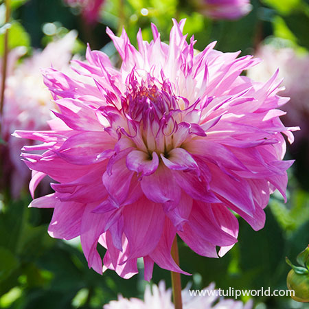 Pinelands Princess Dahlia pink dahlias, pinelands princess dahlias, lacinated dahlia, fringed dahlias, fringed dahlia, cut flowers, flowers for vases, wedding flowers