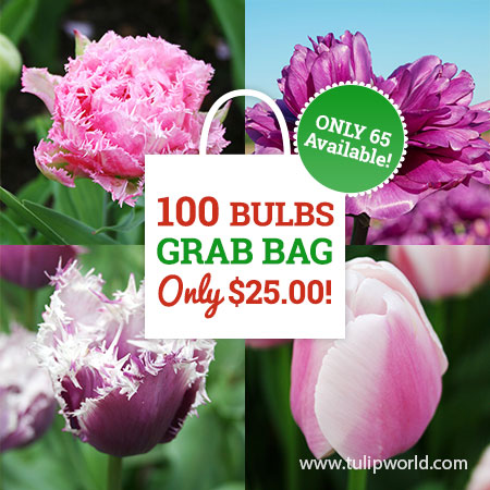 Pink & Purple Tulip Grab Bag pink tulips, purple tulips, tulip bulbs for sale, tulips from holland, holland tulips