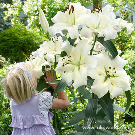 Pretty Woman Orienpet Lily tree lily, pretty woman tree lily, tree lily pretty woman, giant lily pretty woman, orienpet lily, bulbs lily, large lily plant, giant lily plant,