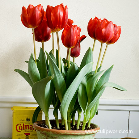 Red Apeldoorn Pre-chilled Tulips - 47034