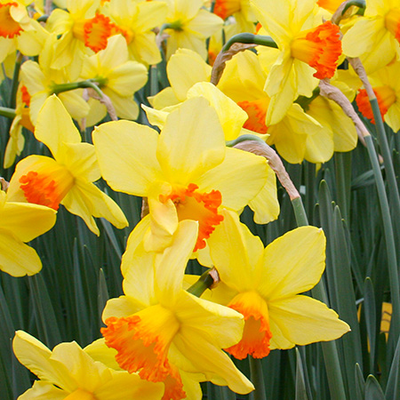 Red Devon Daffodils Super Pack