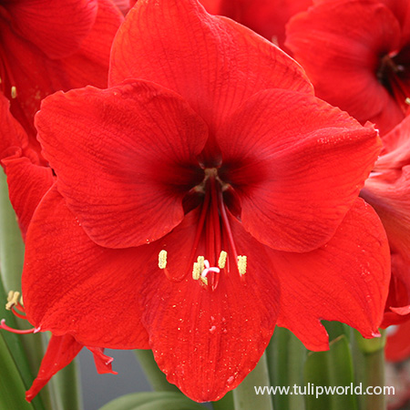Red Lion Large Flowering Amaryllis