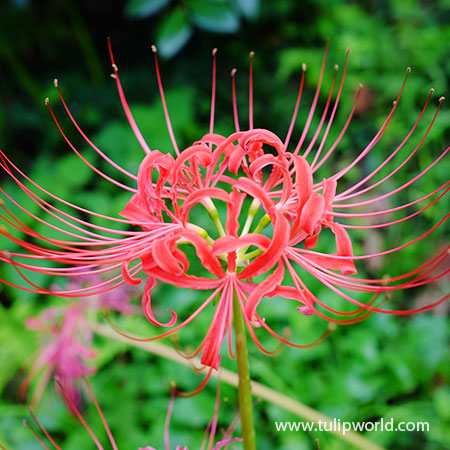 Red Magic Lily - Lycoris Radiata