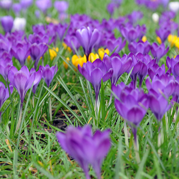 Remembrance Crocus - 33107