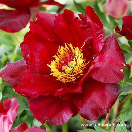 Scarlet Heaven Itoh Hybrid Peony best red peony, scarlet heaven, itoh hybrids, scarlet heaven peony, scarlet heaven paeonia, itoh peony, intersectional peony