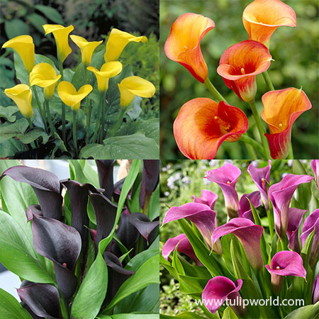 Sensational Calla Lily Collection calla lily bulbs, calla lily colors, calla lily black, calla lily care indoors, calla lily bulbs for sale, calla lily mix