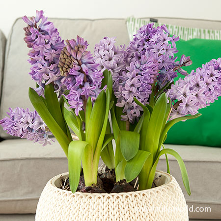 Splendid Cornelia Pre-Chilled pre-chilled bulbs, pre chilled hyacinth bulbs, where can i buy pre chilled bulbs, pre chilled hyacinths for forcing