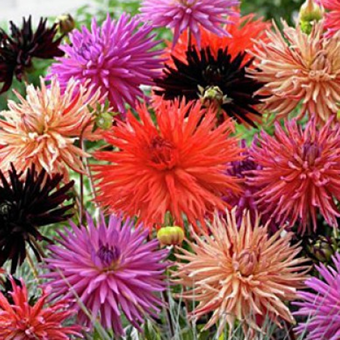 Star Mix Cactus Dahlias