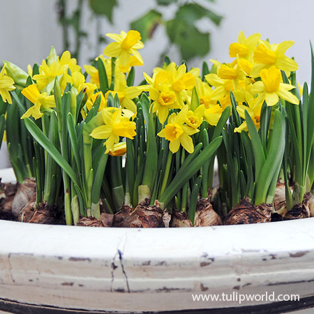 Tete A Tete Daffodil Pre-Chilled pre-chilled bulbs, daffodils for southern gardens, tete a tete daffodils, flower bulbs for the south, dwarf daffodils, daffodils for sale