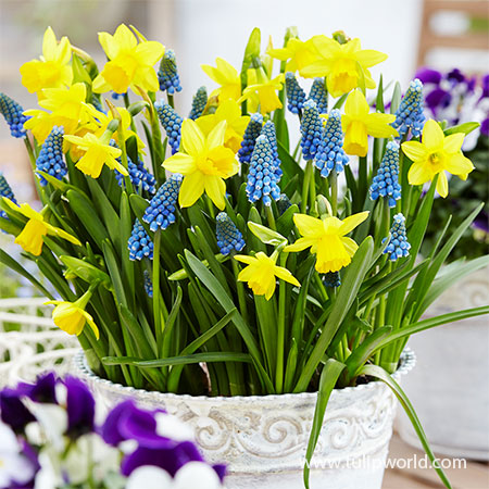 Tete a Tete Daffodil & Grape Hyacinth Blend tete a tete daffodil, grape hyacinths, daffodil and grape hyacinth blend