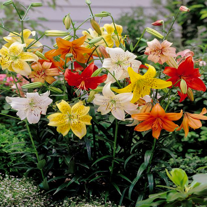 Tiger Lily Mixed
