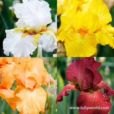 Warm Bearded Iris Collection
