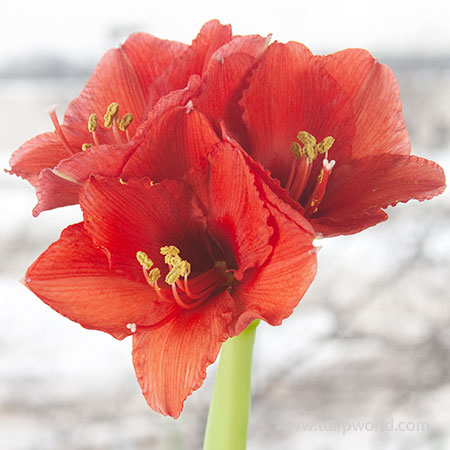 Wax Amaryllis Gold Base | Tulip World | 42133