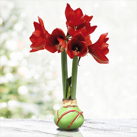 Green Picasso Base Waxed Amaryllis